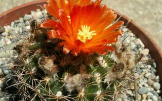 Вид подкормки кактуса. Выбираем подходящее удобрение для кактусов: состав витаминов и инструкция по применению