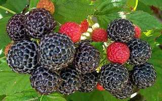 Деревья с ягодами. Деревья с ягодами похожими на ежевику