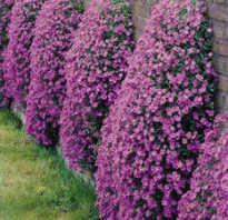 Аубреция фото цветов. Когда сажать обриету (аубрецию)? Особенности выращивания из семян