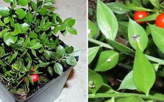 Иглица комнатное растение. Иглица в доме: виды, уход, композиции