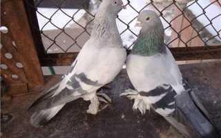 Голуби касаны фото и описание. Чем интересны голуби породы Касаны