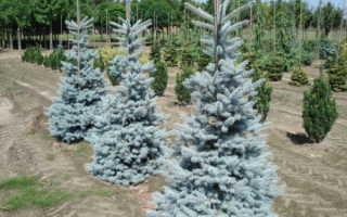 Ель колючая oldenburg. Ель колючая Ольденбург (Picea pungens Oldenburg), описание, фото, условия выращивания