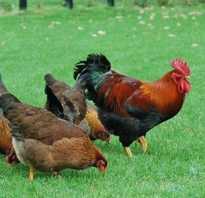 Если курица хрипит что делать. Хрипы и кашель у кур — опасно ли это и как правильно лечить?