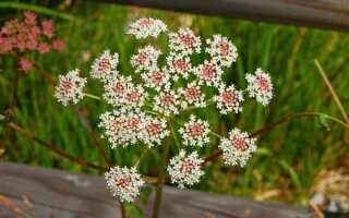 Зонтичное растение 5 букв. Растение семейства зонтичных — 7 букв, сканворд