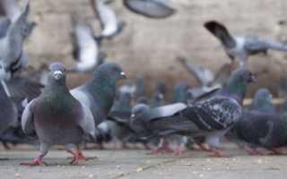 Как отвадить голубей от подоконника. Голуби на подоконнике: прогоняем непрошеных гостей