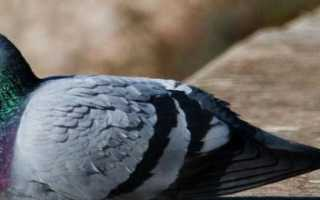 Как выгнать голубей из помещения. Как избавиться от голубей: 8 лучших репеллентов и отпугивателей для защиты дома