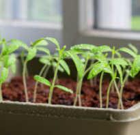 Как правильно ухаживать за рассадой. Как ухаживать за рассадой помидор