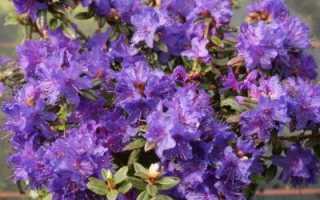Rhododendron impeditum blue tit. Рододендрон плотный (сорт 'Blue Tit')