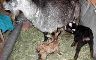 Как кормить козлят с рождения. Кормление новорожденных козлят
