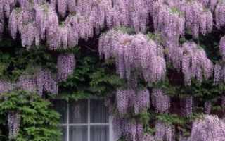 Как ухаживать за глицинией в саду. Глициния (45 фото): посадка, уход, выращивание