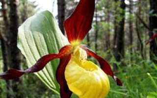 Венерин башмачок легенда о происхождении для детей. Орхидея: легенды, мифы и исторические факты