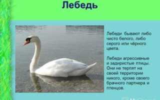 Вес лебедя. Размеры лебедя