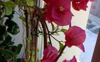 Бугенвиллия уход и содержание в квартире. Бугенвиллия — южная красавица в домашних условиях