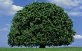 Буковое дерево фото. Бук лесной