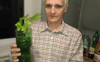 Виноград дома выращивание в горшке. Виноград на подоконнике