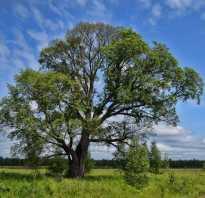 Вязь дерево полезные свойства. Дерево вяз, описание и фото: плоды и листья вяза, как выглядит