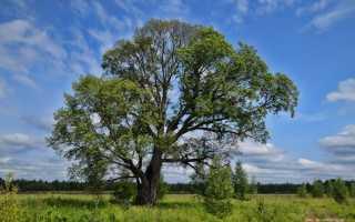 Вяз фото дерева и листьев фото. Вяз гладкий