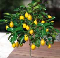 Бонсай лимон как выращивать. Как вырастить…