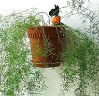 Аспарагус свойства. Цветок аспарагус перистый-можно ли держать дома