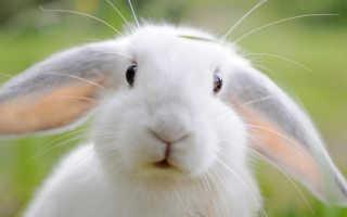 Зеленый древесный кролик. Характеристика мужчин и женщин Дев в год Кота (Кролика, Зайца)