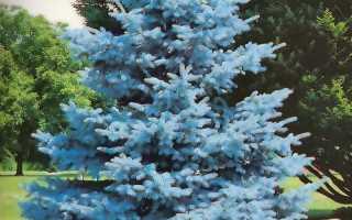 Где растут голубые ели. Голубая ель.