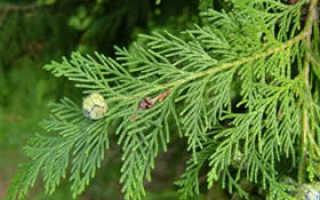 Кипарисовик лавсона колумнарис глаука описание. Кипарисовик лавсона Колумнарис (Chamaecyparis lawsoniana Columnaris)