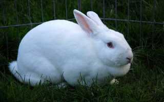 Вздутие у кроликов лечение водкой. Лечим и спасаем кролика от ЖКС.