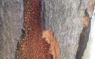 Вредители клена. Вредители и болезни лиственных деревьев: фото и меры борьбы