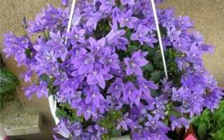 Как выглядит цветок колокольчик фото. Колокольчик (кампанула): виды, уход и выращивание