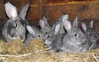 Когда рассаживать крольчат по полу.