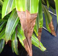 Драцена на листьях желтые пятна. Что за желтые пятна на драцене? Хлороз?