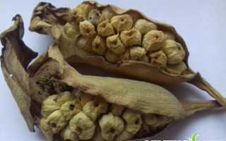 Вырастить каллы из семян. Выращивание калл из семян в домашних условиях