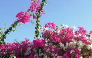 Бугенвиллия александра. Тропическая лиана Бугенвиллея