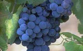 Виноград без косточек для подмосковья. Сорта винограда для Подмосковья, Сибири и Урала: обзор самых лучших