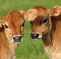 Клички телятам девочкам. Как подобрать имя для буренки или бычка