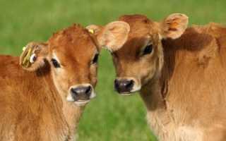 Клички для быков список. Имена для бычка и телочки в домашнем и племенном разведении