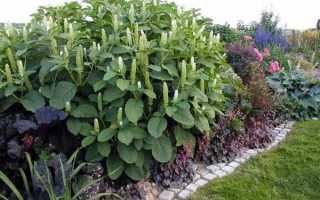 Как сажать лаконос семенами. Лаконос, посадка и уход