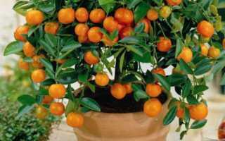 Ветка апельсина. Апельсинового дерева — рисунки и фотографии