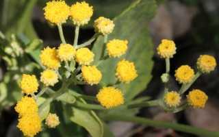 Кануфер лечебные свойства. Кануфер (пиретрум бальзамический) – растение со множеством полезных свойств. Фото.