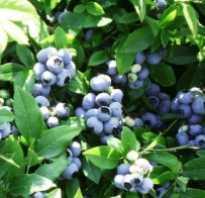 Голубика садовая патриот посадка и уход. Голубика Патриот: характеристика, посадка и уход
