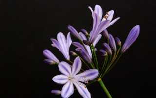 Агапантус синий. Агапантус – прекрасная африканская лилия