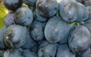 Виноград сорт руслан отзывы. Виноград Руслан: морозостойкий и высокоурожайный