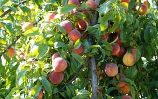Как омолодить старый персик. Когда проводить обрезку персика?