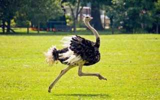 Какую максимальную скорость может развить страус. Скорость страуса: максимальный бег до 70 км/ч