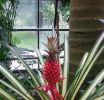 Выращивание ананаса в теплице. Как вырастить ананасы в теплице из поликарбоната