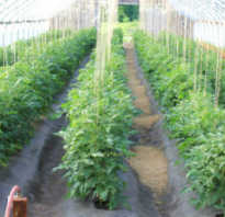 Как подвязать помидоры в теплице видео. Как и для чего подвязывать томаты в теплице из поликарбоната