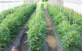 Как правильно подвязывать помидоры видео. Как подвязывать правильно помидоры в теплице: преимущества, способы, материалы, фото