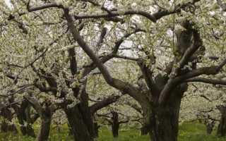 Как оживить старую яблоню. Можно ли реанимировать, восстановить яблоню? Как это правильно сделать?