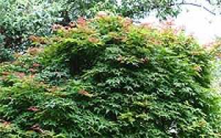 Клен веерный атропурпуреум. Клен дланевидный Atropurpureum