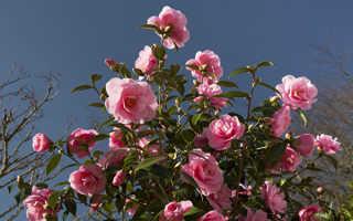 Камелия цветок фото садовая уход. Камелия садовая: чудо на вашем участке, похожее на розу